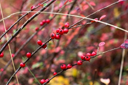 wet red berry on a bush in autumn