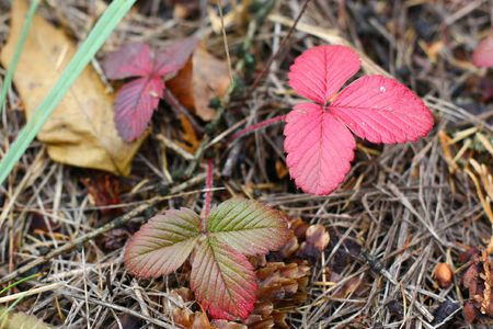 red strawberry leaves in grass in autumn Stock Photo - 5735444