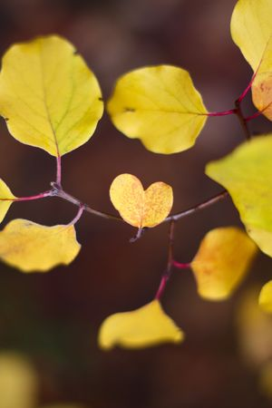 yellow fruit tree leaf in a shape of a heart