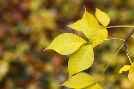 yellow maple tree leaf in a forest Stock Photo - 5735441