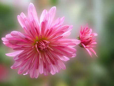 pink chrysanthemum flowers on abstract background in autumn