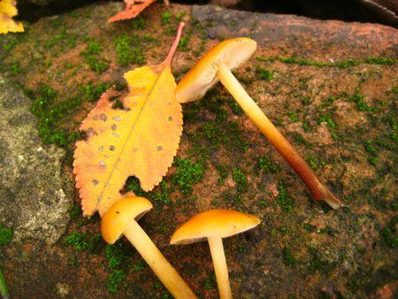 a groop of eatable mushroom on a rust background