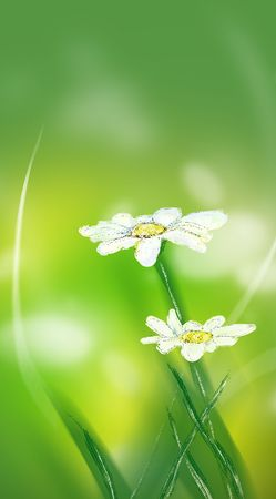 daisy blossoms in sunlight in summer on green background