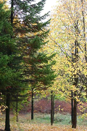 a pine and birch tree in forest in autumn