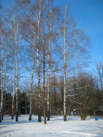 Birch trees in snow in winter forest