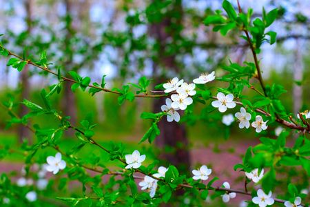 white plum blossoms in spring on background of garden