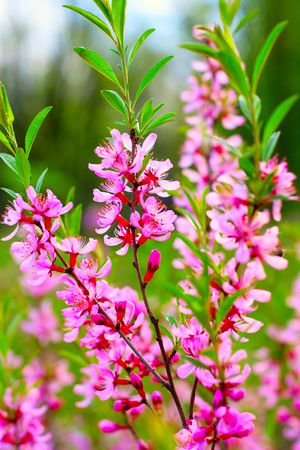 pink flowers blossoms in spring at daylight Stock Photo