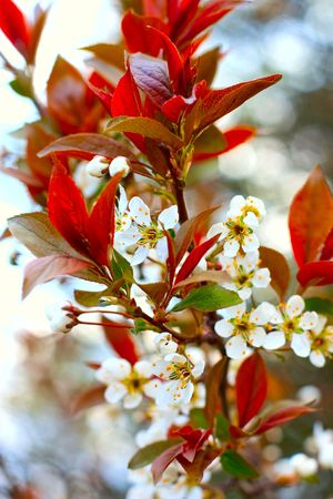 white tender plum tree blossoms in spring Stock Photo