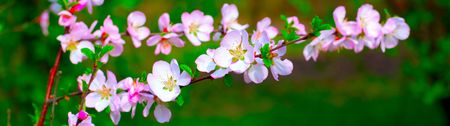 white and pinky cherry plum blossom in spring Stock Photo