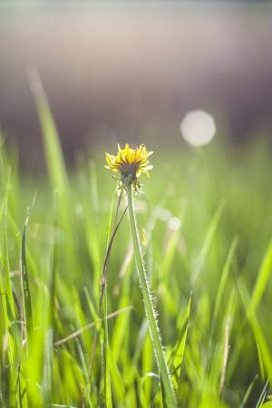 dandelion in sunshine in summer Stock Photo - 19551110