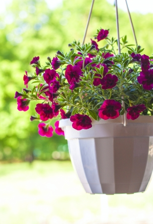 petunia flower pot in summer outdoors Stock Photo - 19839593
