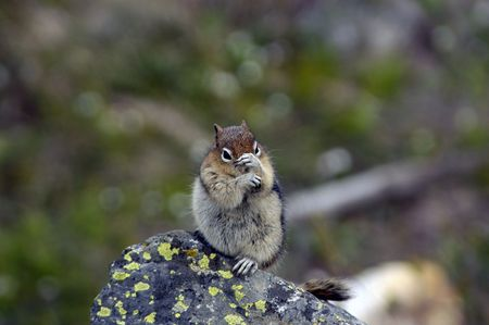 peekaboo: A cute chipmunk playing peek-a-boo on a rock. Stock Photo