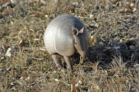burrowing: An armadillo foraging for food. Stock Photo