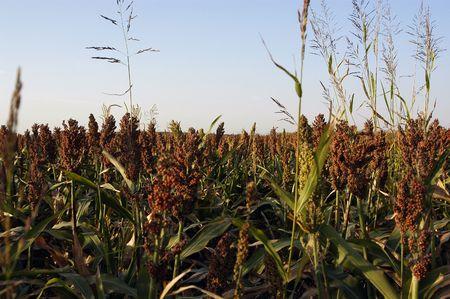 sorgo: Un campo de sorgo en las zonas rurales de Oklahoma.