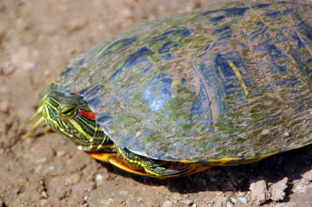 A red-eared slider searching for a farm pond. Stock Photo