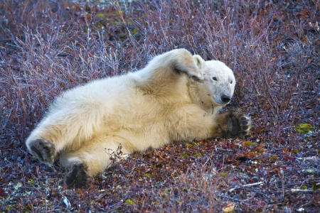 a young polar bear plays on the tundra soil waiting for the snow photo