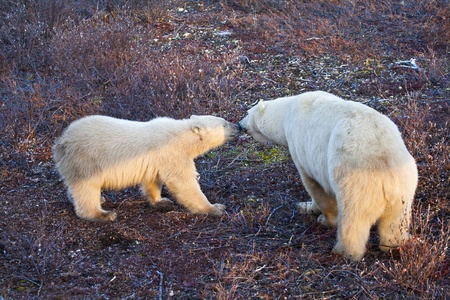 a mother polar bear greeting her yearling cub  waiting on the tundra soil for the ice and snow that every year come later due to global warming, preventing from feeding and hunting on the ice photo