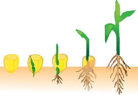 planta de maiz: Planta que crece
