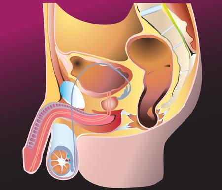 scrotum: Sistema di riproduzione maschile