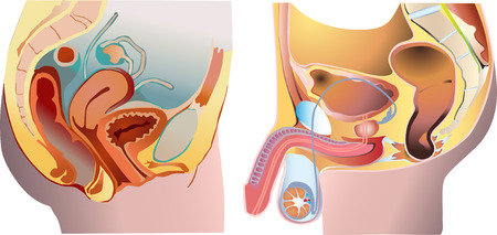 uretra: Hombres y mujeres sistema de reproducci�n