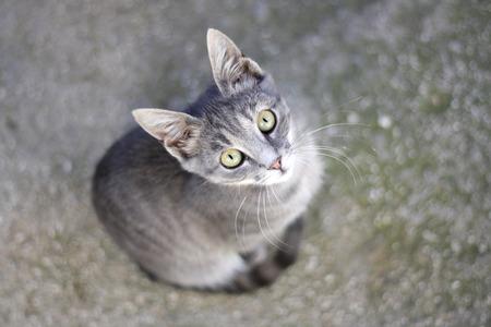 occhi grandi: Gattino grigio con gli occhi grandi.