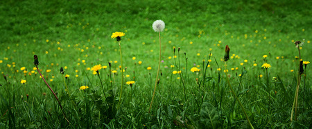 medow: Dandelions on a medow, in three phases.