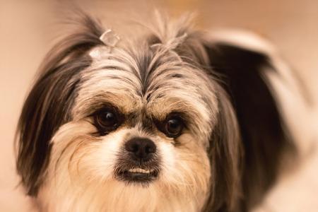 shihtzu: Black and white shih-tzu dog.