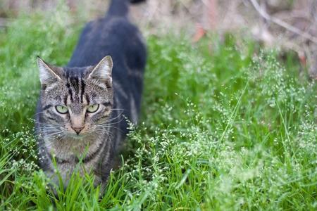 eyes green: Gato adulto con los ojos verdes, en el campo verde.