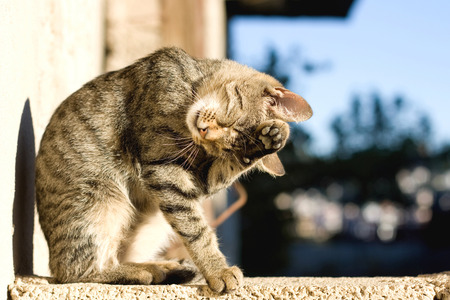 animal body part: Young cute cat standing on the wall and grooming itself.