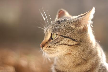 fondo cafe: Retrato gato atigrado Brown. La cabeza de primer plano, iluminado por la luz natural. Atenci�n selectiva y fondo marr�n.