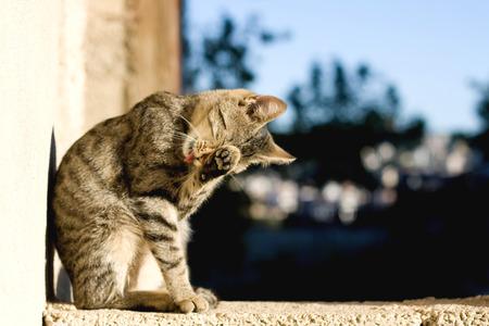 cat grooming: Brown tabby cat grooming itself outdoor. Selective focus.