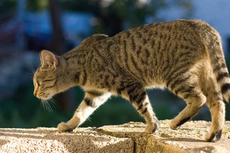 sneaking: Brown tabby cat walking on the wall, sneaking and trying to hunt. Selective focus. Stock Photo