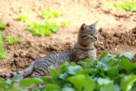 curiously: Brown tabby cat lying in the garden among the vegetables and curiously looking at something. Selective focus.