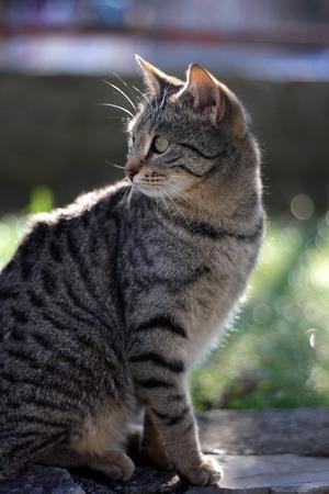ojos verdes: Gato de Tabby con grandes ojos verdes en el jardín. enfoque selectivo.