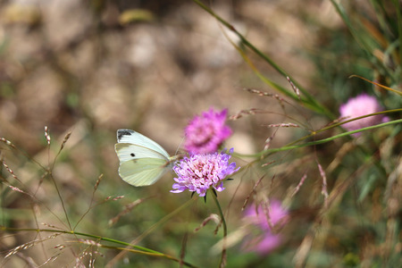 pieris: White butterfly Pieris rapae on a pink wild flower. Selective focus beautiful bokeh.
