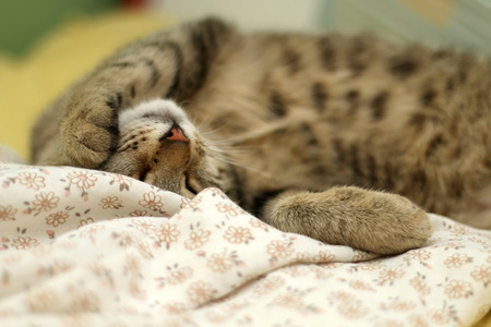 Brown tabby cat sleeping peacefully in human bed, closeup. Selective focus.