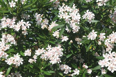 oleander: White oleander plant: Nerium oleander