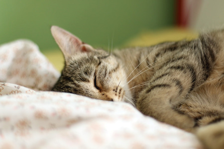 peacefully: Brown tabby cat sleeping peacefully in human bed, close up. Selective focus. Stock Photo