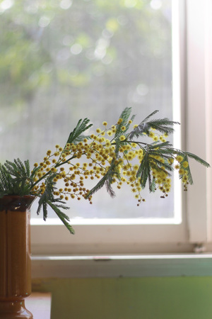sensitive: Sensitive plant mimosa in the vase by the window.
