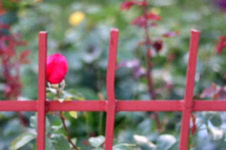 red rose bokeh: Pink rosebud in a colorful garden behind a fence. Defocused background. Stock Photo