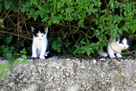 curiously: Two tiny black and white kitten curiously exploring a garden.