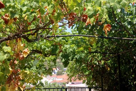grapevine: Grapevine on a metal pergola.