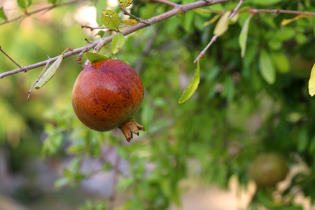 Pomegranate on the tree. Selective focus.