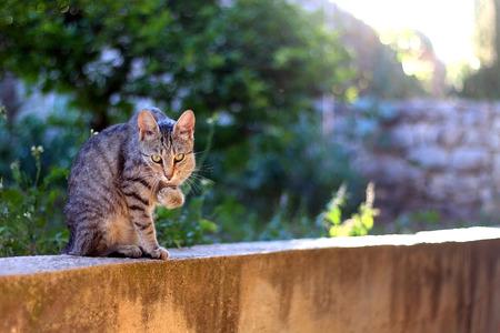 cat grooming: Brown tabby cat grooming her paw in the garden. Selective focus.