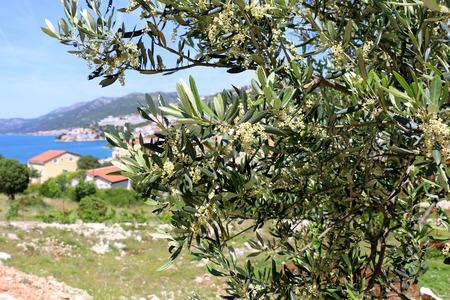 Olive tree in Neum, Bosnia and Herzegovina. Selective focus. 免版税图像