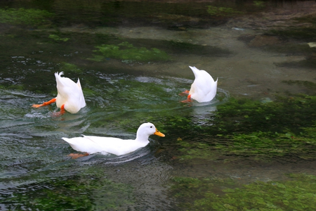 Three white ducks swimming and diving in a river. Stok Fotoğraf