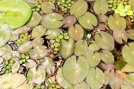 nymphaeaceae: Beautiful water lily leaves. Top view.