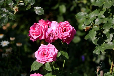 Pink roses in a garden. Selective focus.