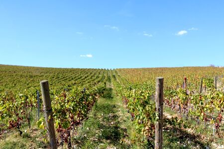 Beautiful vineyard on a hill during sunny day. Selective focus. 免版税图像
