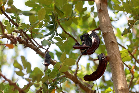 Carob fruit on a tree. carob is a traditional Mediterranean plant used as a healthy alternative to chocolate.